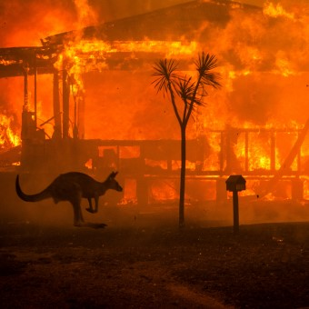 australian fires kangaroo nytimes Custom